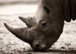 В ЮАР массово гибнут черные носороги