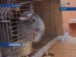 Ангарчанин на балконе разводит кур и кроликов